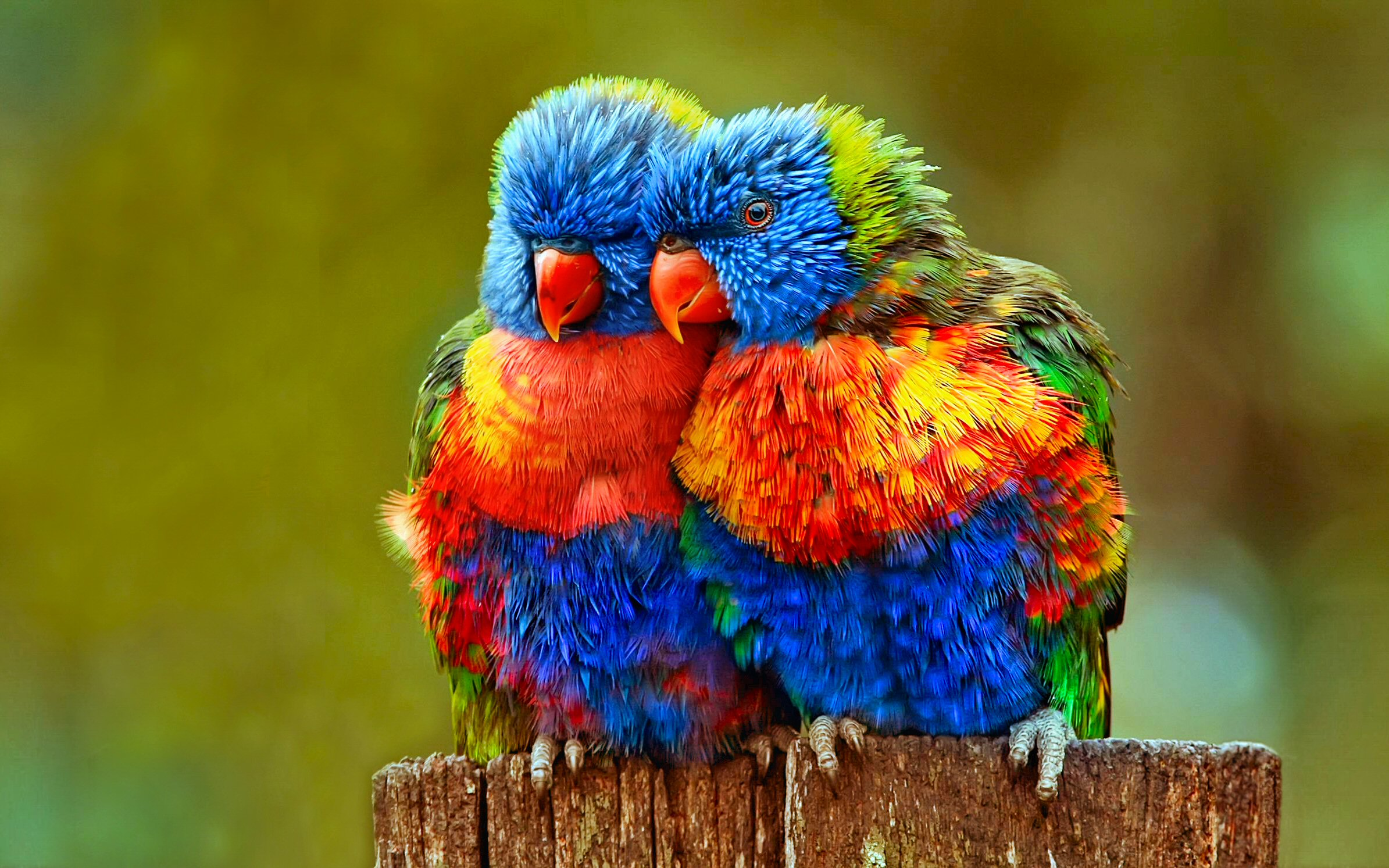 Colorful Parrot Desktop Background